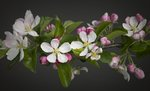 Fine Art Print of Apple Blossom by Assaf Frank