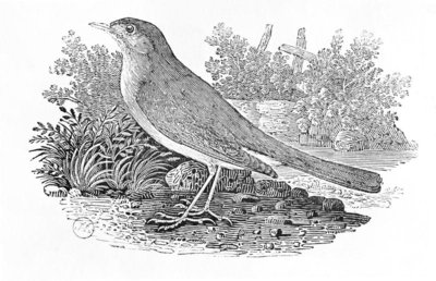 The Nightingale (Luscinia megarhynchos) from the 'History of British Birds' Volume I, pub. 1797 (wood engraving) by Thomas Bewick - print