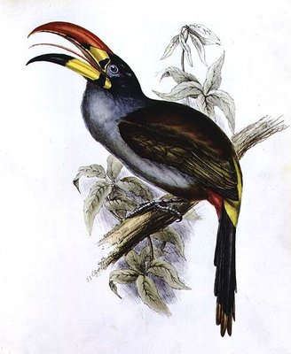 Pteroglossus Hypoglaucus from 'Tropical Birds' by John Gould - print