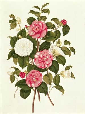 "Camellia (double white and striped) from ""A Monograph on the Genus of the Camellia"" (colour lithograph) by English School - print"