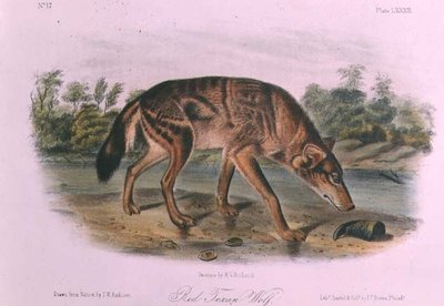 Red Wolf from 'Quadrupeds of North America', 1842-45 (hand coloured lithograph) by John James Audubon - print
