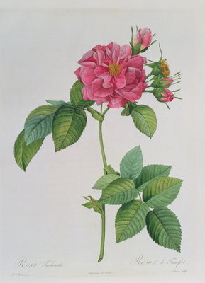Rosa Turbinata, from ,Les Roses', Vol 1, 1817 (coloured engraving) by Pierre Joseph Redoute - print