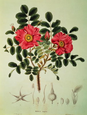 Rosa rugosa, from 'Flora Japonica', Vol 1, by von Siebold and Zuccarini, 1835 by Anonymous - print
