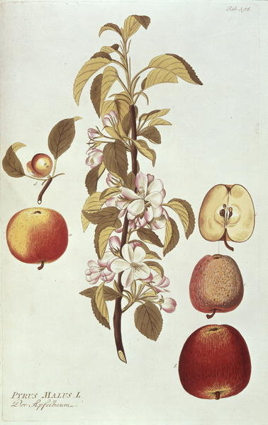 Fine Art Print of Pyrus Malus by Joseph Jacob Plenck
