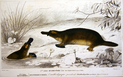 Platypi, illustration from 'Dictionnaire Universel d'Histoire Naturelle' by Charles d'Orbigny, engraved by A. Fournier, 1839-49 Poster Art Print by Charles Joseph Travies de Villiers