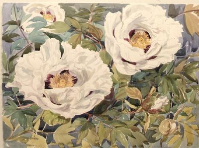 White Tree Peony Poster Art Print by Elizabeth Jane Lloyd