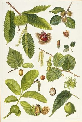 Walnut and other nut-bearing trees (w/c) by Elizabeth Rice - print