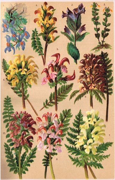 Fine Art Print of Alpine Plants, illustration from 'Alpine Flora' by Professor C.S. Schroter, published 1921 by Ludwig Schroter