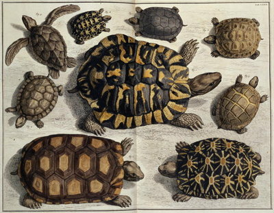 "Fine Art Print of Turtles: from Albert Seba's ""Locupletissimi Rerum Naturalium"", c.1750 by Anonymous"