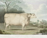 The Habertoft Short Horned Prize Cow, engraved by C. Hunt, 1842 Poster Art Print by English School