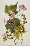 Black And Yellow Warbler. Magnolia Warbler Poster Art Print by Joseph Jacob Plenck