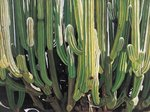 Large Candelabro Cactus in Oaxaca, 2003
