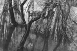 Fine Art Print of Form of tree by Anonymous