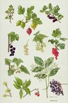 Currants and Berries Poster Art Print by Roger de la Fresnaye