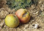 Still life with two apples and a snail shell
