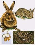 Hares and Rabbits Poster Art Print by English School