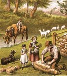 Sheep shearing Poster Art Print by Clive Uptton