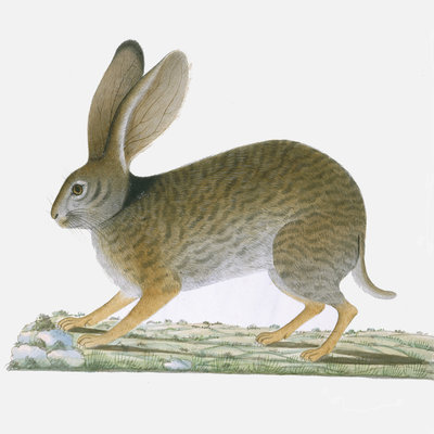 Hare by A Collis - print
