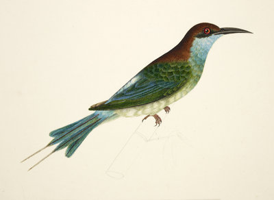 Chestnut-Headed Bee-Eater by J Briois - print