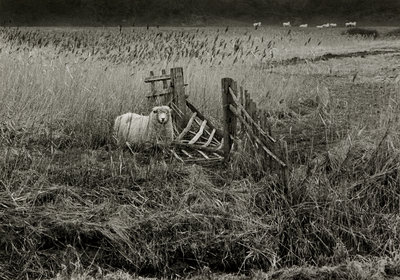 Fine Art Print of Sheep by Fay Godwin
