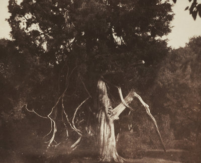 An aged red cedar in the grounds of Mount Edgcumbe by William Henry Fox Talbot - print