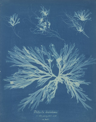 Dictyota dichotoma by Anna Atkins - print
