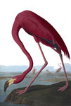 Flamingo by J Briois - print