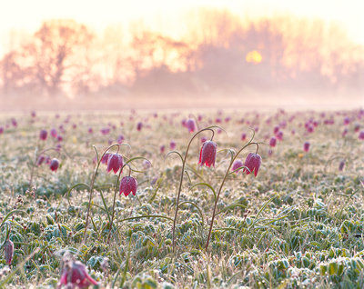 Fritillaries at Dawn Poster Art Print by Damian Debski
