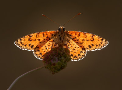 A Spotted Fritillary Butterfly at Sunset Poster Art Print by Tim Perceval