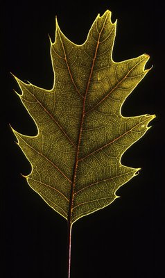 Quercus rubra leaf botanical print by Henrique Souto