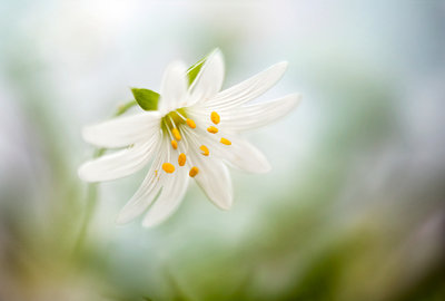 Stitchwort Poster Art Print by Mandy Disher