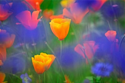 Californian Poppies botanical print by Dennis Frates