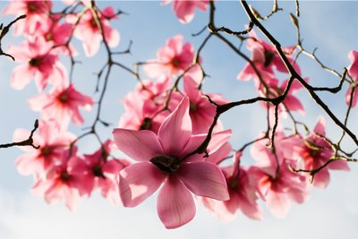 Magnolia Blooms by Mark Bolton - print