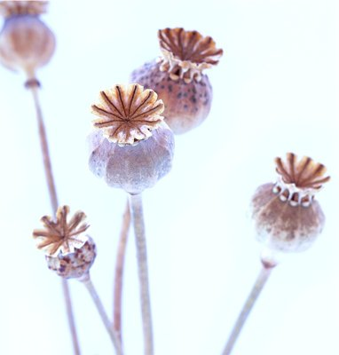 Poppy Seed Heads by Lucy Birnie - print