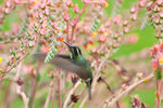 Hummingbird botanical print by Patrick Corning