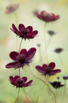 Cosmos atrosanguineus 'Choca Mocha' botanical print by Debbie Hartley