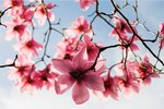 Magnolia Blooms botanical print by Sam Scott-Hunter