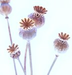 Poppy Seed Heads botanical print by Dennis Frates