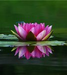 Fine Art Print of Water lily by Tony Keene