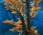 Fine Art Print of Alpine Larch by Adam Gibbs