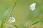 Green-veined White butterflies botanical print by Sven Gräfnings