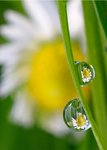 Fine Art Print of Daisies on Dewdrops by Alan Bryant