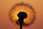 Fine Art Print of Dandelion 1381 by Duncan Usher