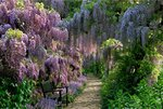 Wisteria Walk at Hermannshof, Germany botanical print by Jerry Harpur