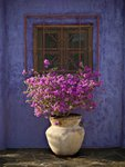 Fine Art Print of Bougainvillea with Blue Wall by William Pierson