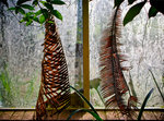 Dried Cycad leaves hanging by glasshouse window botanical print by Sam Scott-Hunter