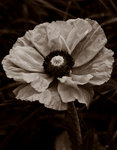 Papaver Orientale. Oriental Poppy botanical print by Philip Smith