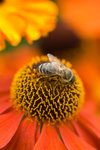 Bee on Helenium botanical print by Philip Smith