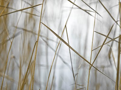 Reeds IV by Assaf Frank - print