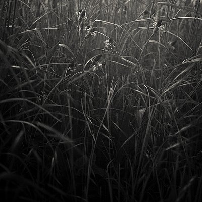 Wild Grasses II by Paul Cooklin - print